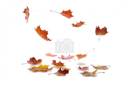 Photo for Autumn maple leaves falling on white background with shadow - Royalty Free Image