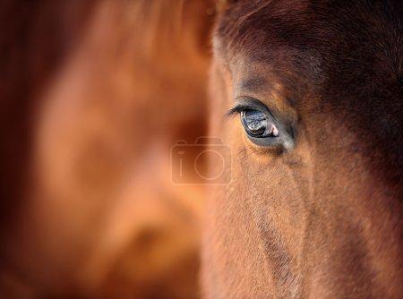 Photo for Eye of Arabian bay horse - Royalty Free Image