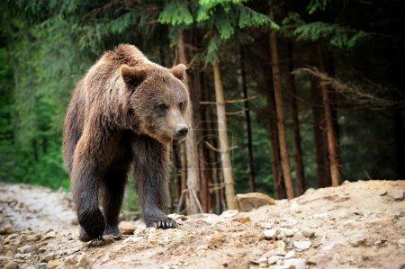 Photo pour Ours brun dans la forêt après la pluie - image libre de droit