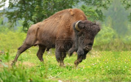 Large male of bison in the forest...