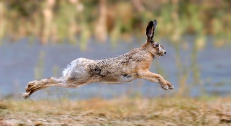 Photo for Hare running in a meadow - Royalty Free Image