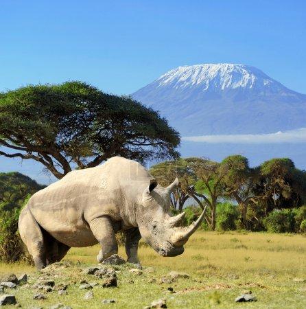 Rhino in front of Kilimanjaro mountain