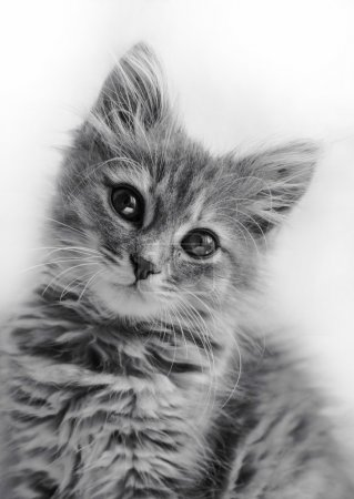 Portrait of a striped kitten on black and white im...