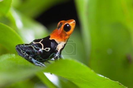 Photo pour Grenouille fantastique d'amazon tropical rainforest Pérou ranitomeya fastastica ou dendrobates fantasticus exotiques amphibiens et animaux avec des couleurs vives d'avertissement - image libre de droit