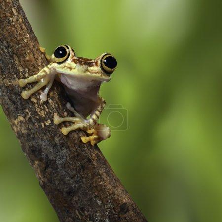 Photo pour Grenouille équatorienne forêt tropicale amazonienne rainette sur branche dans la forêt tropicale exotique petit amphibien mignon et animal nocturne - image libre de droit