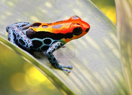 Tropical poison arrow frog