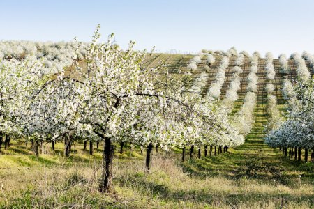 Photo for Blooming orchard in spring, Czech Republic - Royalty Free Image