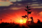 plant on sunset background