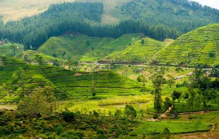 Tea plantation landscape