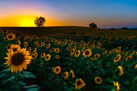 Backlit Sunset Sunflowers