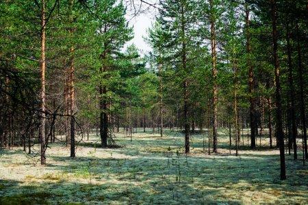Photo pour Vue de la forêt de pins du Nord avec de la mousse - image libre de droit