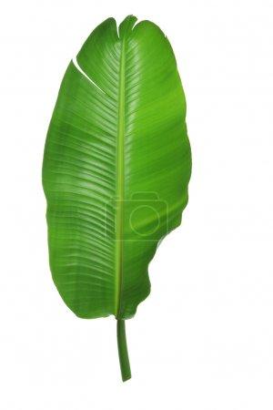 Photo pour Feuille de palmier sur fond blanc - image libre de droit