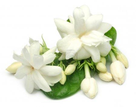 Jasmine flower with leaves