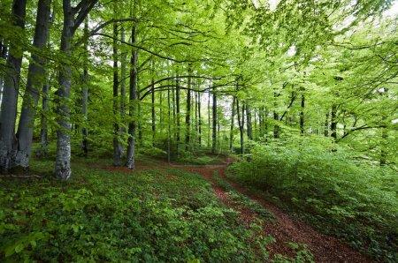 Photo pour Creux chemin beau vert forêt au printemps - image libre de droit