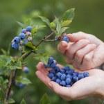 Women picking ripe blueberries close up shoot...