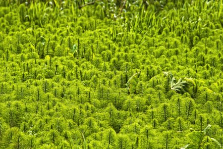 Field of horsetail (Equisetum)