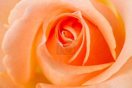Photo pour Une macro d'une rose orange, plus proche de la normale. Fond floral - image libre de droit