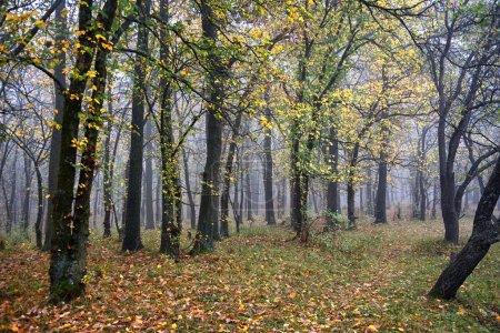 Photo pour Brouillard dans la forêt d'automne - image libre de droit