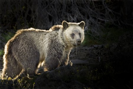 Silvertip Grizzly Bear