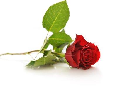 Photo pour Belle rose rouge isolée sur fond blanc - image libre de droit