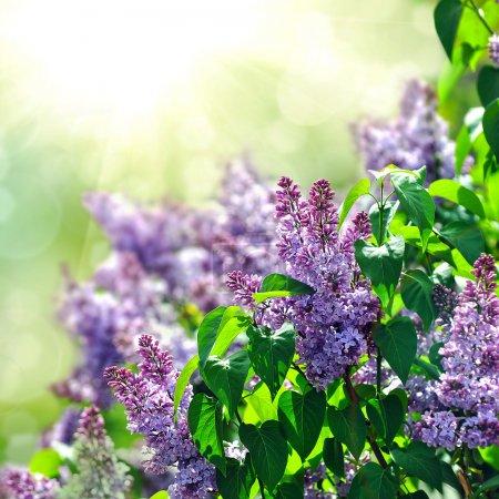 Photo pour Pourpre Lila bush qui fleurit en mai. Parc de la ville - image libre de droit