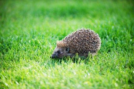 Hedgehog on green lawn