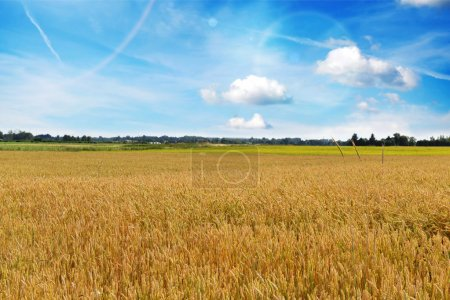 Photo for Wheat crops plant endless field in summer day - Royalty Free Image