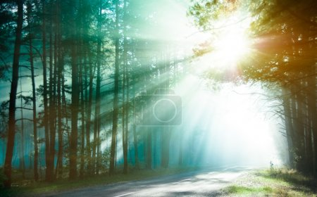 Photo for Magical forest in the morning sunlight rays. Bright rays of sunlight on the forest road. Slanting solar light through trees in the wood. Morning sun shining through - Royalty Free Image