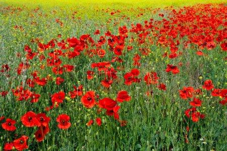 Photo pour Fleurs de pavot rouge sur le champ au printemps. Prairie fleurie avec des coquelicots - fond floral. Paysage rural avec champ de coquelicots en fleurs . - image libre de droit