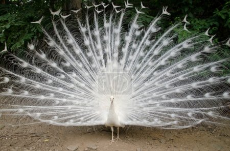 Photo for White peacock with feathers out - Royalty Free Image