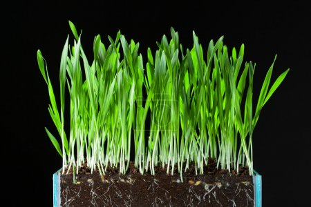 Oat grass and roots in soil cross-cut section