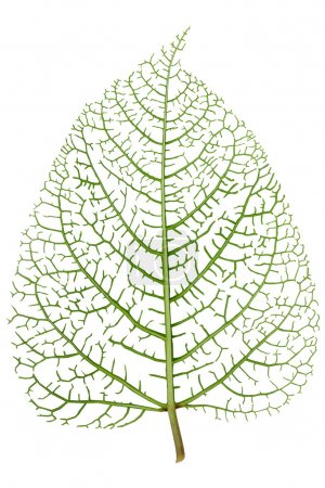 Leaf skeleton veins