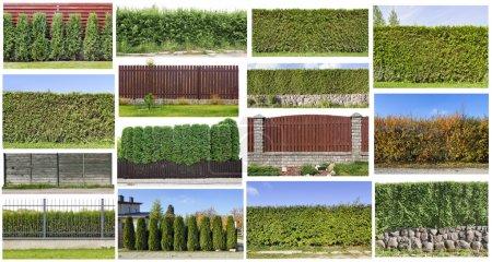 Photo pour Fragments d'une haie de clôture verte rural d'evergreen plantes ensemble. toutes les images de taille, que vous pouvez trouver dans mon portefeuille. - image libre de droit