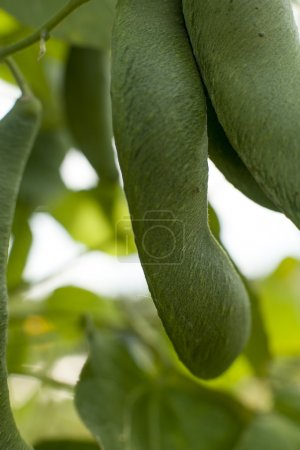 green bean leaves close-up