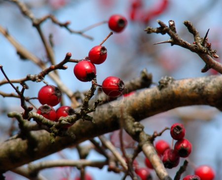 Rose hip berries on the twig