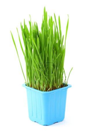 Photo pour Herbe en pot isolé sur blanc - image libre de droit