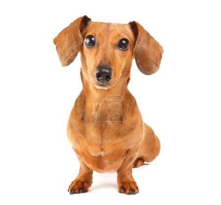 Photo pour Dachshund chien isolé sur fond blanc - image libre de droit