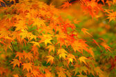 Maple tree