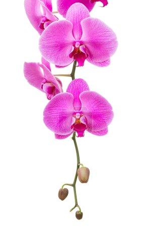 Photo pour Fleur d'orchidée - image libre de droit