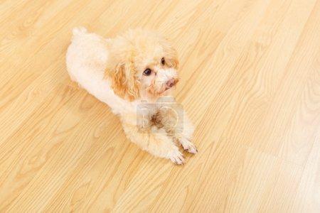 Toy poodle lying on floor