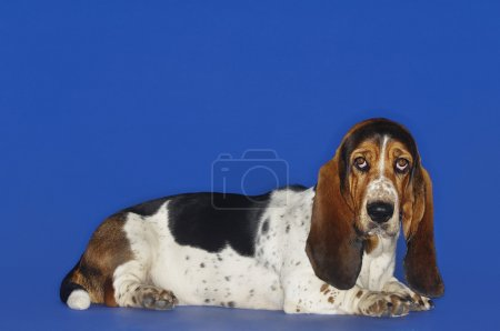 Basset Hound Dog Relaxing