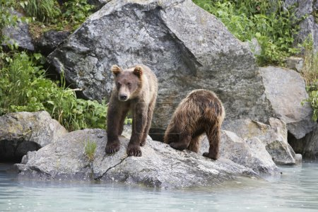 Two Brown Bears Beside River