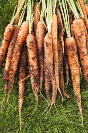 Photo pour Bouquet de carottes boueuses sur herbe - image libre de droit