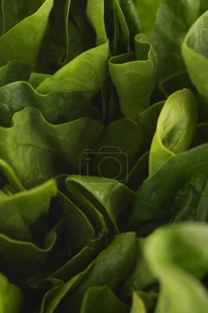 Photo for Green ripe lettuce leaves - Royalty Free Image