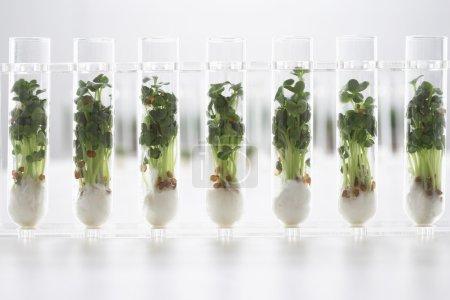 Cress seedlings in test tubes