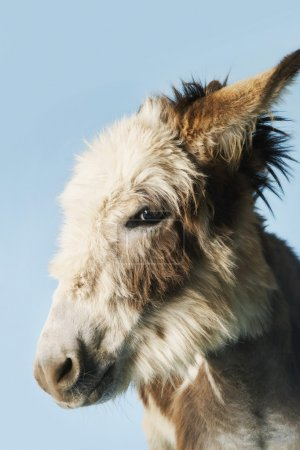 Photo for Donkey against blue background close-up of head side view - Royalty Free Image
