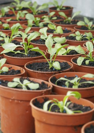 Photo for Seedlings in Plant Pots close up - Royalty Free Image