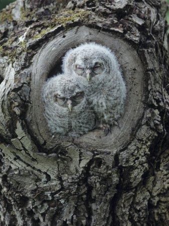 Owlets in Tree hole