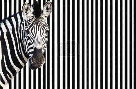 Zebra on striped background