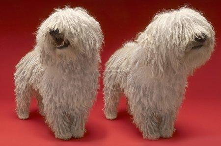 Komondor Dogs